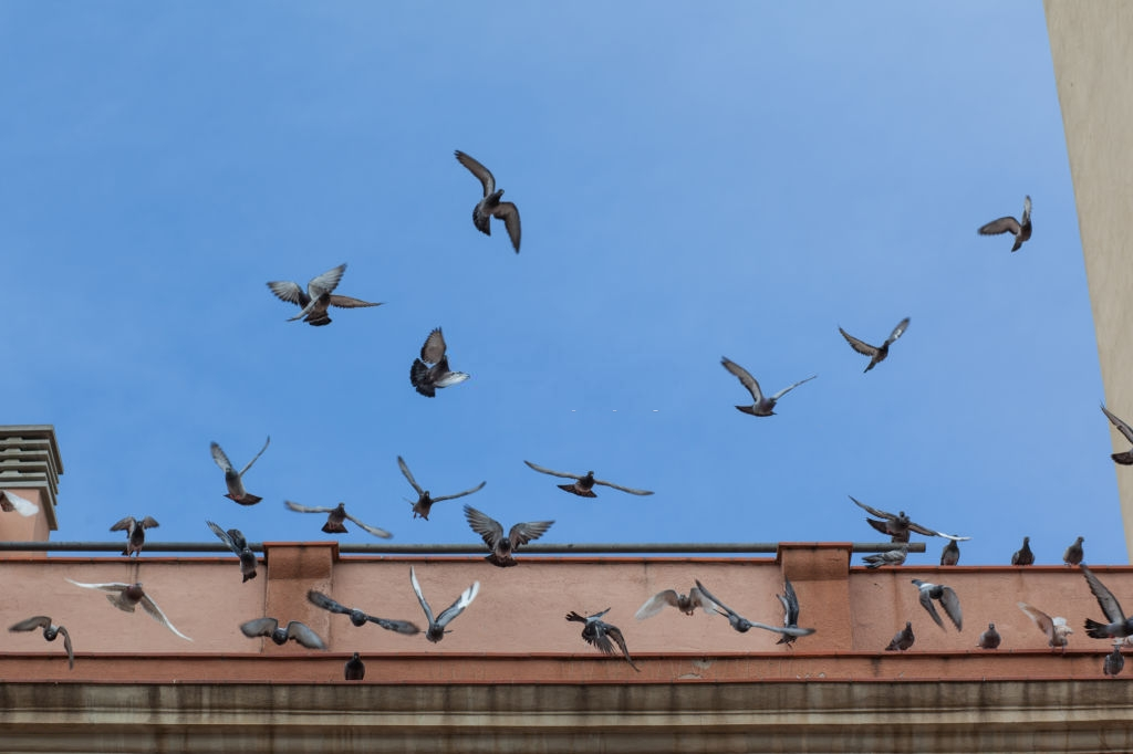 Pigeon Pest, Pest Control in Camden Town, NW1. Call Now 020 8166 9746