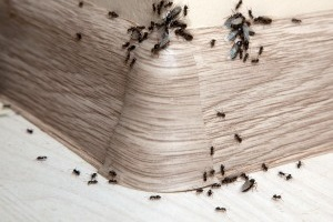 Ant Control, Pest Control in Camden Town, NW1. Call Now 020 8166 9746